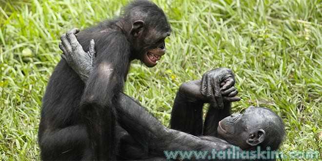 bonobo maymunları çiftleşme