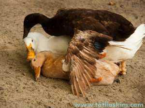 ördek çiftleşmesi