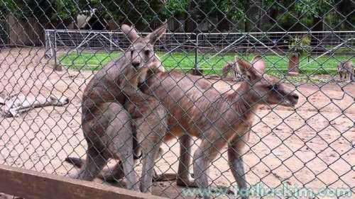 kanguruların çiftleşmesi