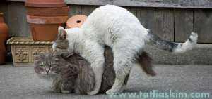 kedilerin çiftleşmesi
